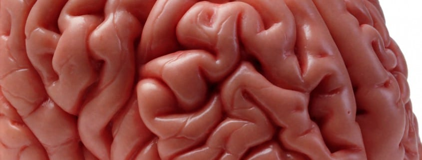 top front angle of human brain model